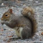 squirrel-gray